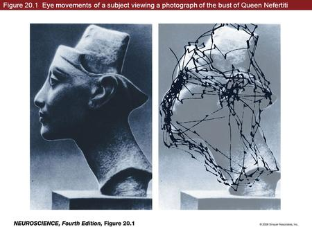 Figure 20.1 Eye movements of a subject viewing a photograph of the bust of Queen Nefertiti neuro4e-fig-20-01-0.jpg.