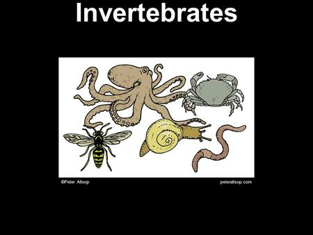 Invertebrates ©Peter_Allsop peterallsop.com. Invertebrates There are about 35 different phyla of animals. You should remember nine of them.