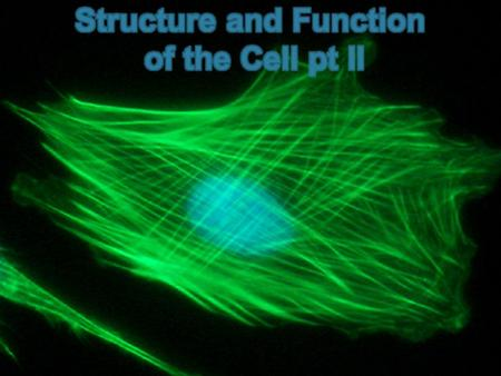 Objectives Describe the function of the cell nucleus Describe the function of the major cell organelles Describe the function of the cell wall Describe.