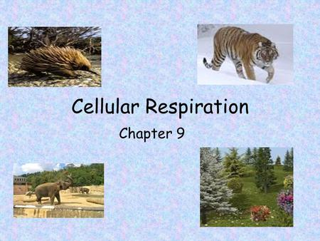 Cellular Respiration Chapter 9. Cellular Respiration (Opposite of Photosynthesis) Overall equation: –C 6 H 12 O 6 + 6O 2  6CO 2 + 6H 2 O + energy (glucose.