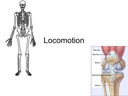 Locomotion. Movement! The interaction between endoskeleton and muscles –Endoskeleton: Skeleton is on the inside –Exoskeleton: Skeleton is on the outside.