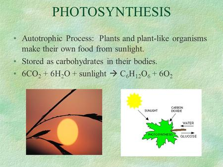 PHOTOSYNTHESIS Autotrophic Process: Plants and plant-like organisms make their own food from sunlight. Stored as carbohydrates in their bodies. 6CO 2 +