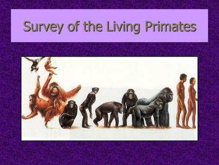 Survey of the Living Primates. Two Suborders: 1. Prosimians Includes lemurs, lorises, bush babies, tarsiers Includes lemurs, lorises, bush babies, tarsiers.
