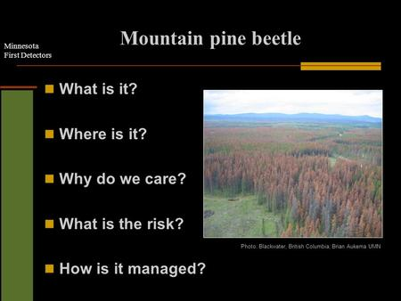 Minnesota First Detectors Mountain pine beetle What is it? Where is it? Why do we care? What is the risk? How is it managed? Photo: Blackwater, British.