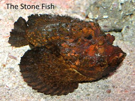 The Stone Fish. Description of Stone Fish The Stone Fish is brown and greenish in colour (which gives them camouflage) with many venomous spines along.