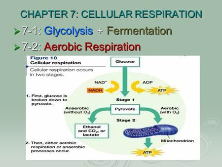 CHAPTER 7: CELLULAR RESPIRATION  7-1: Glycolysis + Fermentation  7-2: Aerobic Respiration.