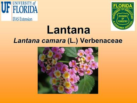 Lantana Lantana camara (L.) Verbenaceae. Biology Native to West Indies and AfricaNative to West Indies and Africa Hundreds of cultivars developedHundreds.