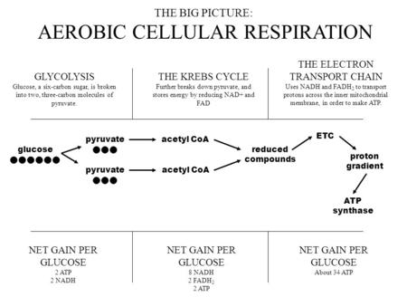 THE BIG PICTURE: AEROBIC CELLULAR RESPIRATION GLYCOLYSIS Glucose, a six-carbon sugar, is broken into two, three-carbon molecules of pyruvate. THE KREBS.