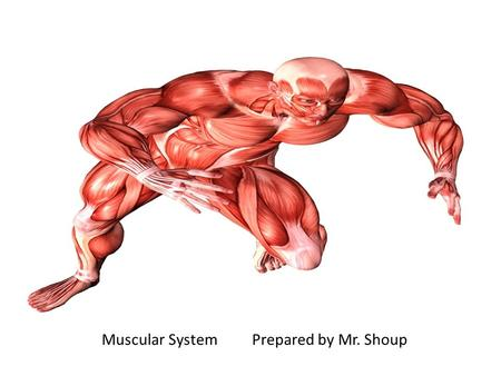 Muscular SystemPrepared by Mr. Shoup. Muscular System There are nearly 650 skeletal muscles in the human body Muscles control movement Help to maintain.