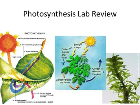 Photosynthesis Lab Review. Photosynthesis Plants, algae, and some bacteria convert light energy into chemical energy that is stored in sugars Chlorophyll.