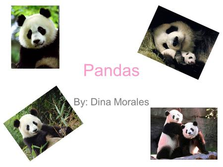 Pandas By: Dina Morales. Info: Native to central-western and southwestern China. Adults measure around 1.5m and around 75 cm tall Males weigh up to 253.