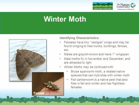 Winter Moth Identifying Characteristics: