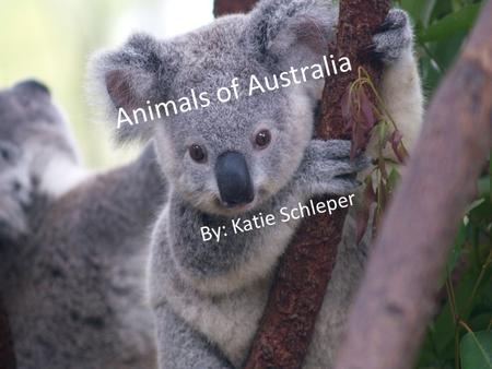 Animals of Australia By: Katie Schleper. Kangaroo Kangaroos are marsupials (females have pouches) from the family of Macropodidae (a macropod), meaning.