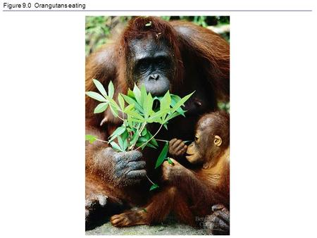 Figure 9.0 Orangutans eating. Figure 9.1 Energy flow and chemical recycling in ecosystems.
