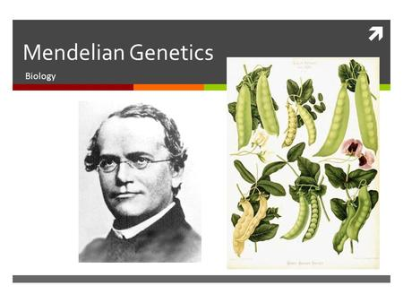  Mendelian Genetics Biology. Gregor Mendel  Gregor Mendel was an Austrian monk who studied the inheritance patterns in pea plants. His knowledge of.