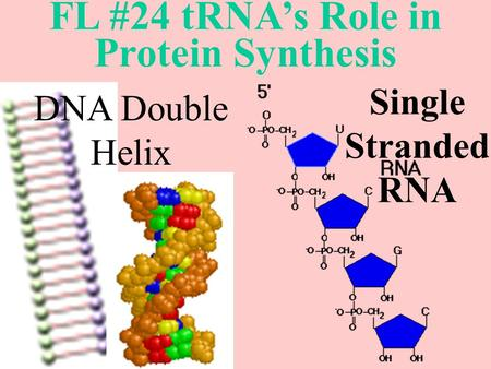 FL #24 tRNA's Role in Protein Synthesis DNA Double Helix Single Stranded RNA.