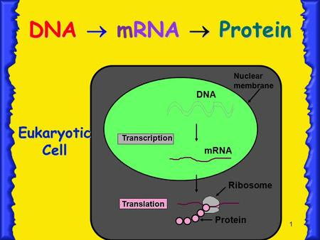 1 DNA  RNA  Protein DNA  mRNA  Protein Nuclear membrane Transcription Translation DNA mRNA Ribosome Protein Eukaryotic Cell.