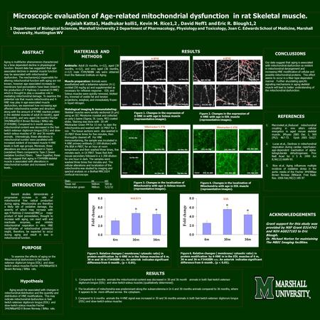 Microscopic evaluation of Age-related mitochondrial dysfunction in rat Skeletal muscle. Anjaiah Katta1, Madhukar kolli1, Kevin M. Rice1,2, David Neff1.