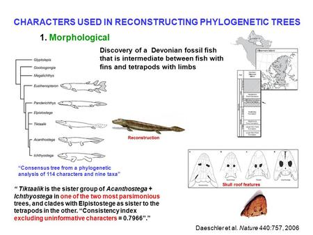 "CHARACTERS USED IN RECONSTRUCTING PHYLOGENETIC TREES 1. Morphological "" Tiktaalik is the sister group of Acanthostega + Ichthyostega in one of the two."