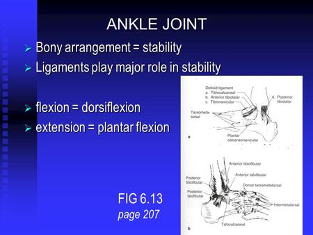 ANKLE JOINT  Bony arrangement = stability  Ligaments play major role in stability  flexion = dorsiflexion  extension = plantar flexion FIG 6.13 page.