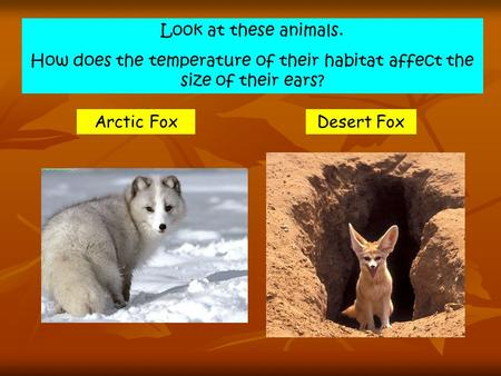 Look at these animals. How does the temperature of their habitat affect the size of their ears? Arctic FoxDesert Fox.