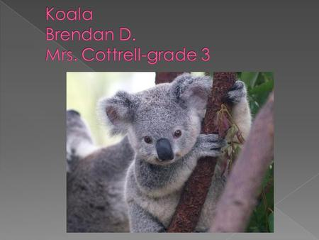  Cute and cuddly  The koala is not a bear  Koalas are brown & gray & white fur  They have big round nose  The koala is nocturnal  It has big ears.