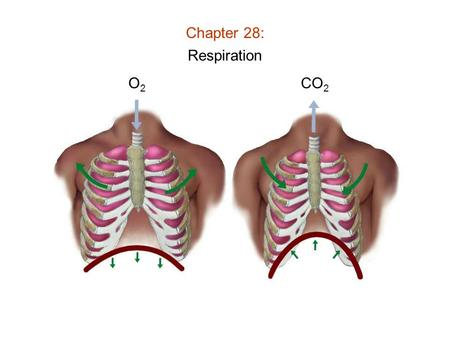 Chapter 28: Respiration O2O2 CO 2. Chapter 28: Respiration Features of Respiratory Systems: 1) Moist surface (to dissolve gas) 2) Thin cells lining surface.