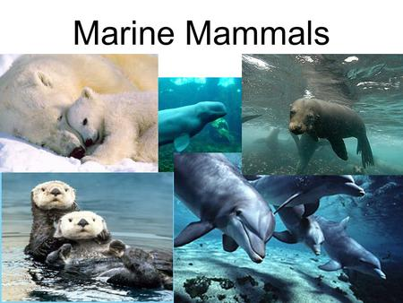 Marine Mammals.  Mammals have a 4 chambered heart.  Mammals are warm- blooded.  They have hair/fur.  Have mammary glands.  Give birth to live young.