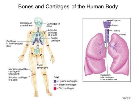 Bones and Cartilages of the Human Body Figure 6.1.