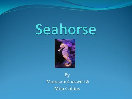 By Muireann Creswell & Mira Collins. Where are Seahorses found? Most species of seahorses are found in the warm tropical waters of the Indian.