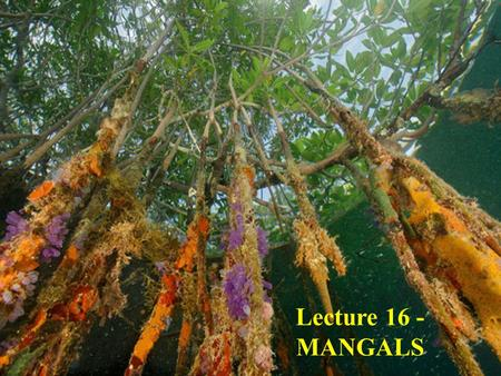 Lecture 16 - MANGALS. Mangal: a tropical shoreline community in which various species of MANGROVE are the dominant plant species.