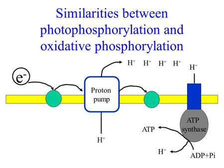 Similarities between photophosphorylation and oxidative phosphorylation e-e- Proton pump ATP synthase H+H+ H+H+ H+H+ H+H+ H+H+ H+H+ H+H+ ADP+Pi ATP.