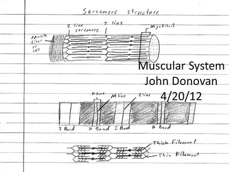 Muscular System John Donovan 4/20/12. Muscular System The muscular system's function is producing motion, providing stabilization, and generating heat.