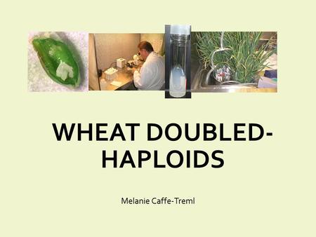 WHEAT DOUBLED- HAPLOIDS Melanie Caffe-Treml. Overview What are doubled-haploids? Applications Methods for wheat doubled-haploids production Speeding-up.