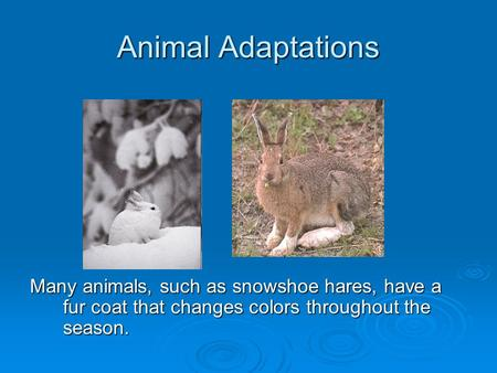 Animal Adaptations Many animals, such as snowshoe hares, have a fur coat that changes colors throughout the season.