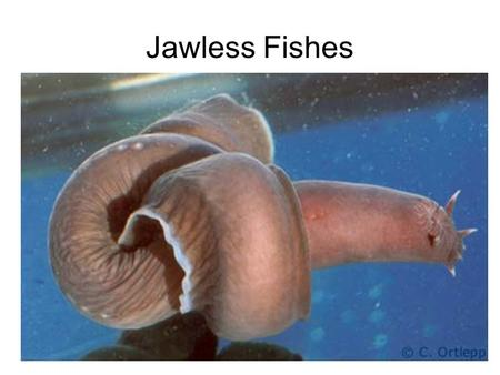 Jawless Fishes. Review of Chordates (fig. 7.51) Table 7.1 dorsal hollow nerve cord notochord (dorsal, elastic supporting rod) paired pharyngeal gill slits.