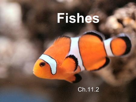 Fishes Ch.11.2. A Fish Story In the warm waters of a coral reef, a large spotted fish called a graysby hovers in the water, barely moving. A smaller striped.