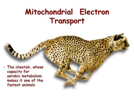 Mitochondrial Electron Transport The cheetah, whose capacity for aerobic metabolism makes it one of the fastest animals.
