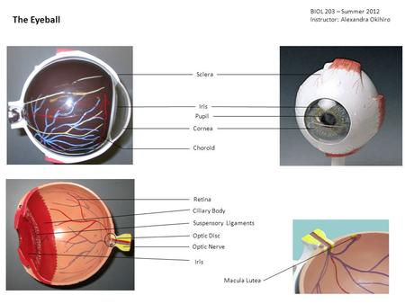 The Eyeball BIOL 203 – Summer 2012 Instructor: Alexandra Okihiro