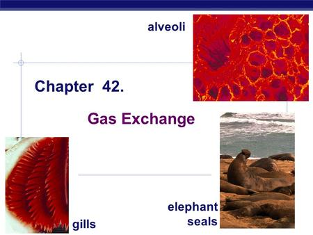 AP Biology 2008-2009 Chapter 42. Gas Exchange gills alveoli elephant seals.