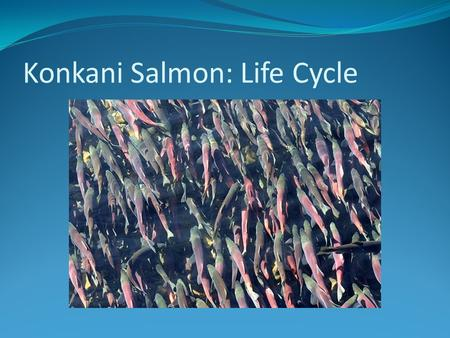 Konkani Salmon: Life Cycle. Adults Spawning During September and October these are the spawning months and thousands of Konkani's will rush up stream,