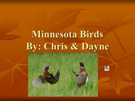 Minnesota Birds By: Chris & Dayne. Common Loon (Gavia immer) Food- Fish; some other aquatic vertebrates and invertebrates Food- Fish; some other aquatic.
