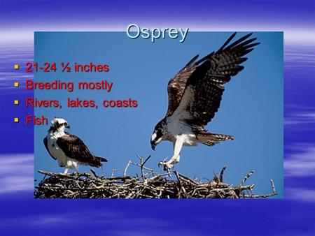 Osprey  21-24 ½ inches  Breeding mostly  Rivers, lakes, coasts  Fish.