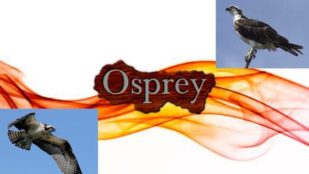"What is an Osprey? An osprey (also known as ""sea hawk"") is one of the most common and well-known birds of prey in the world. They are found on every."