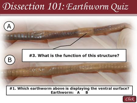 Click Dissection 101: Earthworm Quiz #1. Which earthworm above is displaying the ventral surface? Earthworm: A B A B #2. Name the structure indicated.