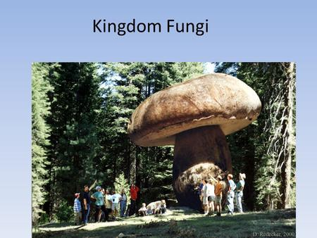 Kingdom Fungi. Distinguishing Characteristics Eukaryotes Nuclei in cells Multicellular Cell walls (chitin) Heterotrophs Sessile Sexual & Asexual Reproduction.