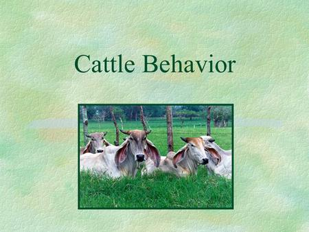 Cattle Behavior. Cattle handling behavior §understanding cattle behavior can reduce livestock stress during handling l stress may reduce conception rate.