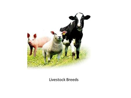 Livestock Breeds. Beef Cattle Dairy Cow Dual Purpose.