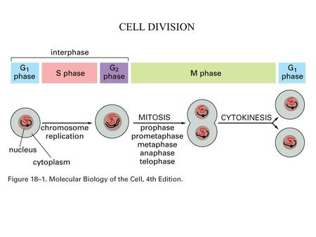 CELL DIVISION. Stages of mitosis (animal cell) prophase: - chromosomes condense (replicated in S phase) - centrosomes separate (duplicated in S phase)