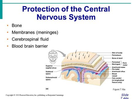 Protection of the Central Nervous System Slide 7.44a Copyright © 2003 Pearson Education, Inc. publishing as Benjamin Cummings Bone Membranes (meninges)